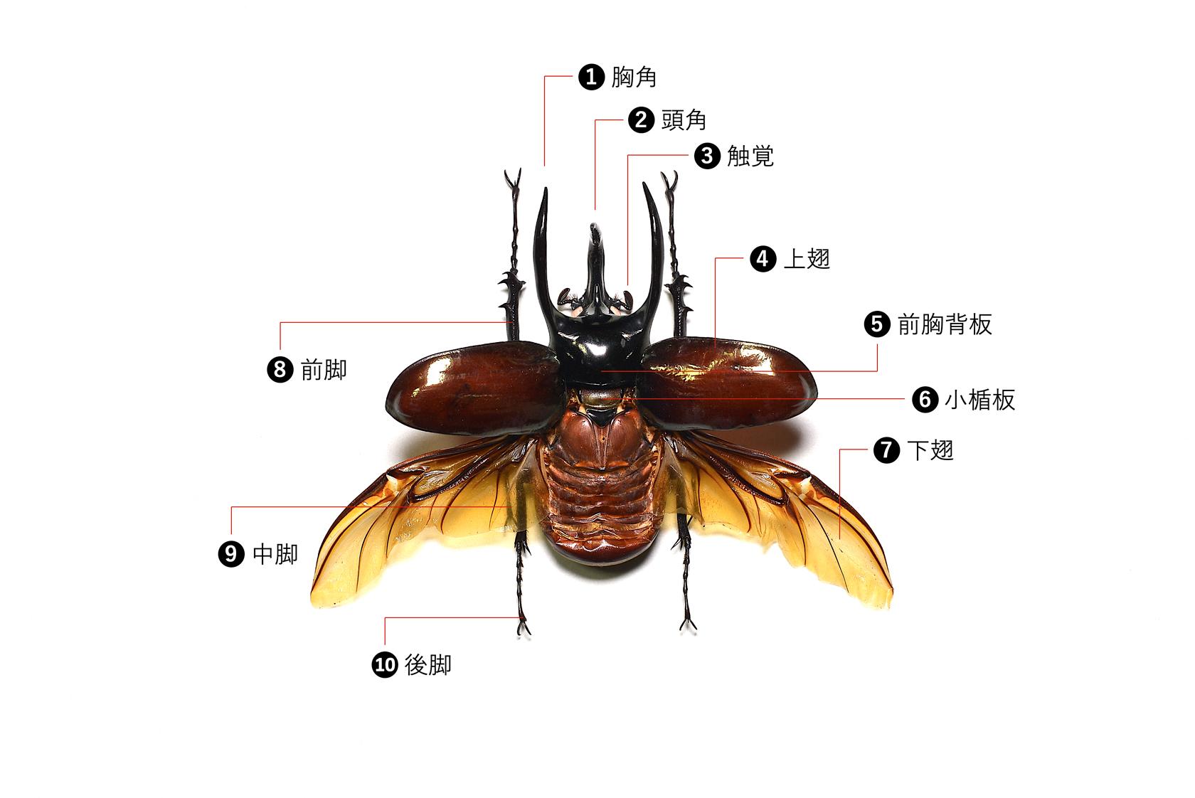 アトラスオオカブトの標本(表側)